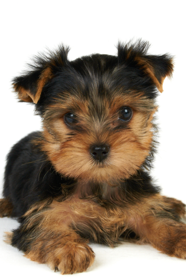 Puppy Of The Yorkshire Terrier Isolated On The White Background Yorkshireterrier Yorkshire Terrier Terrier Yorkie Lovers