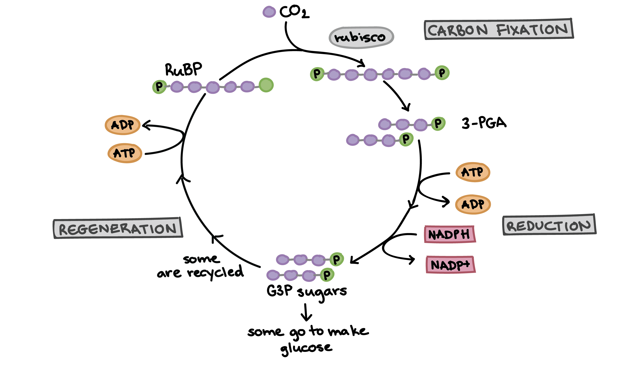 the calvin cycle Abstract aquatic photosynthesis is responsible for about half of the global  production and is undertaken by a huge phylogenetic diversity of.