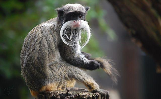 Emperor Tamarin Animals Koala Bear Monkey King
