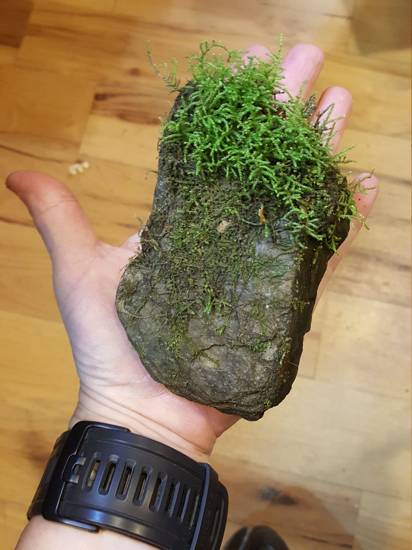 1 Mossy Rock Bag Of Moss Springtails Bioactive Microfauna Microflora Habitat Alachian Mountains Terrarium Vivarium And
