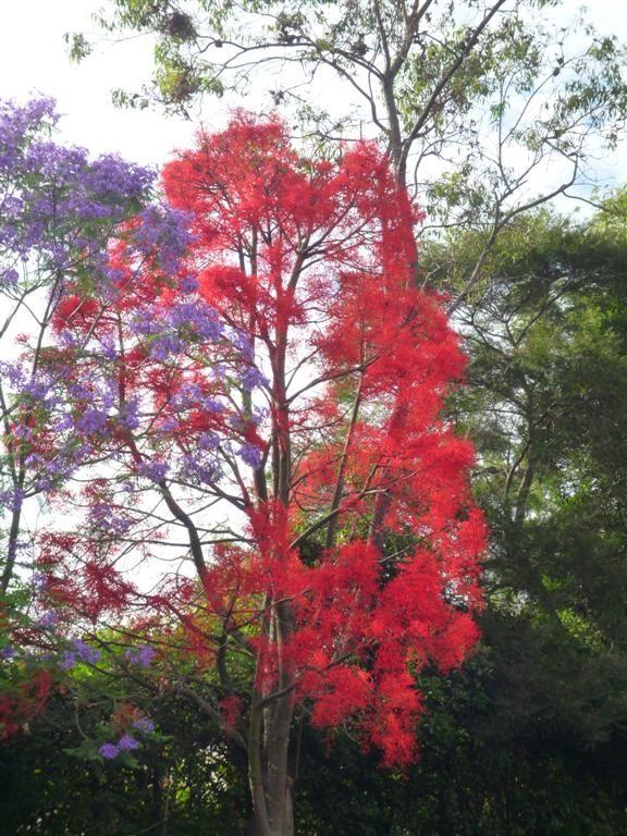 Illawarra Flame Tree Brachychiton Acerifolia Flame Tree Trees To Plant Australian Native Plants