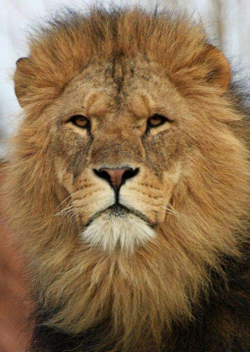 Majestic Lion Wildlife Pinterest