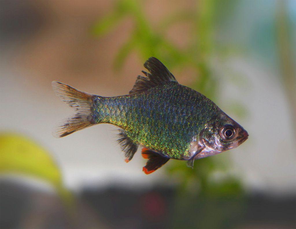 Ultimate Guide To Tiger Barb Fish Care Feeding Breeding Tankmates Fish Care Aquarium Fish Fish