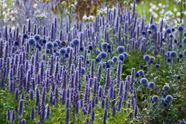 A Striking Summer Border Idea With Echinops And Agastache Drought Tolerant Landscape Design Naturalistic Garden Drought Tolerant Garden