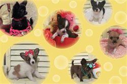 Tejas T Little Cutie Chihuahuas Home Conroe Tx See Tejas T