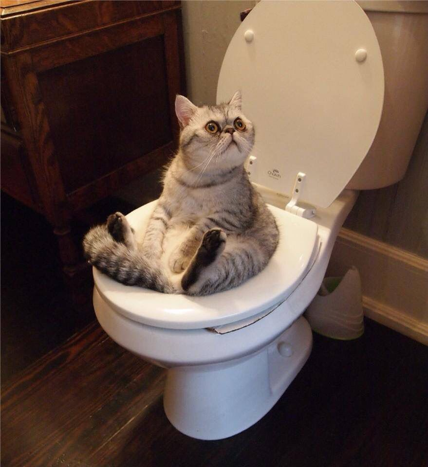 Gray Cat Sitting On A Toilet Funny Cat Pictures Animal Antics Cute Animals