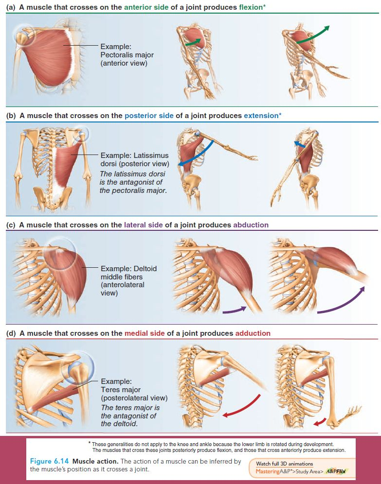 Essentials of Human Anatomy Physiology | 30 Day - Text Book | Pinterest