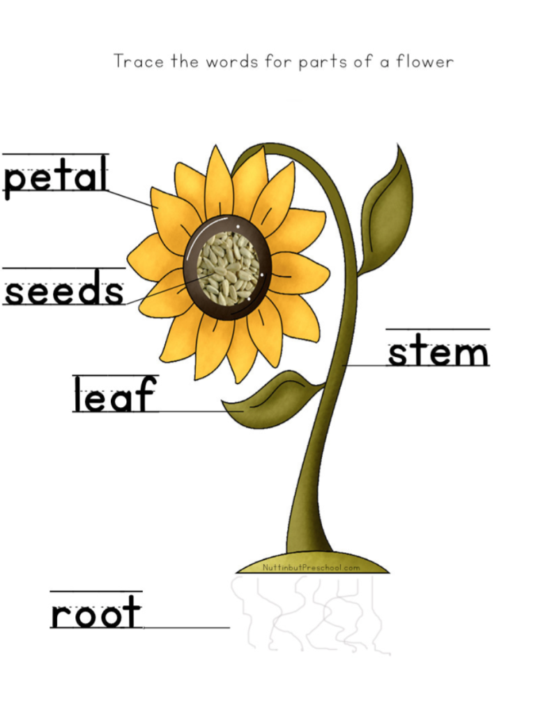 Image result for Sunflower story Parts of a flower