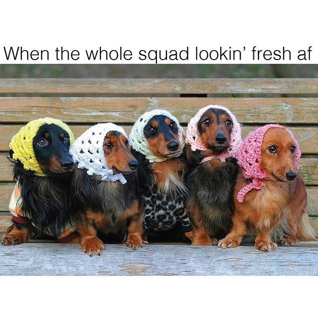 When The Whole Squad Looking Fresh Af Dachshund Memes By