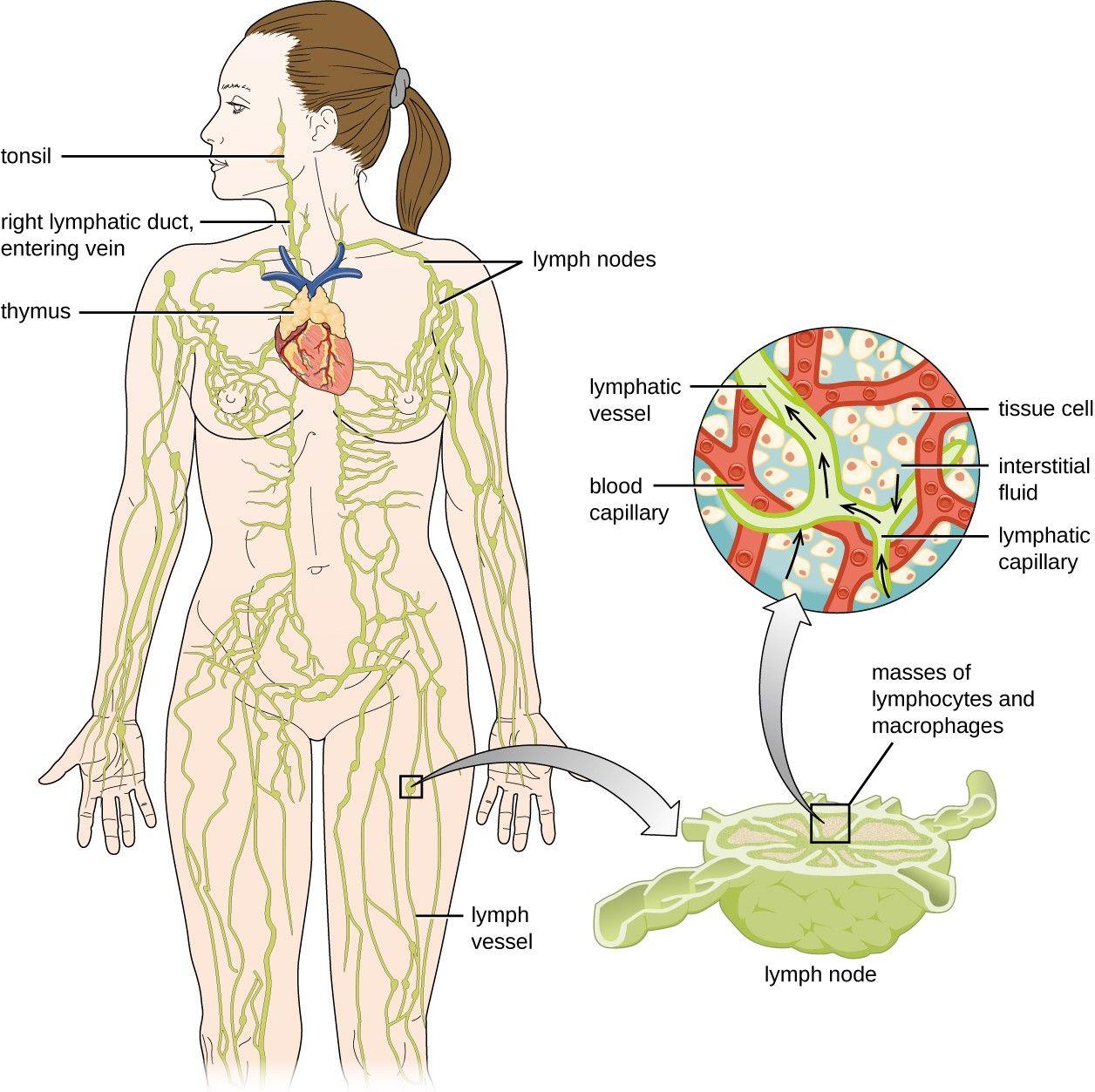 Female Lymphatic System Diagram . Female Lymphatic System ...