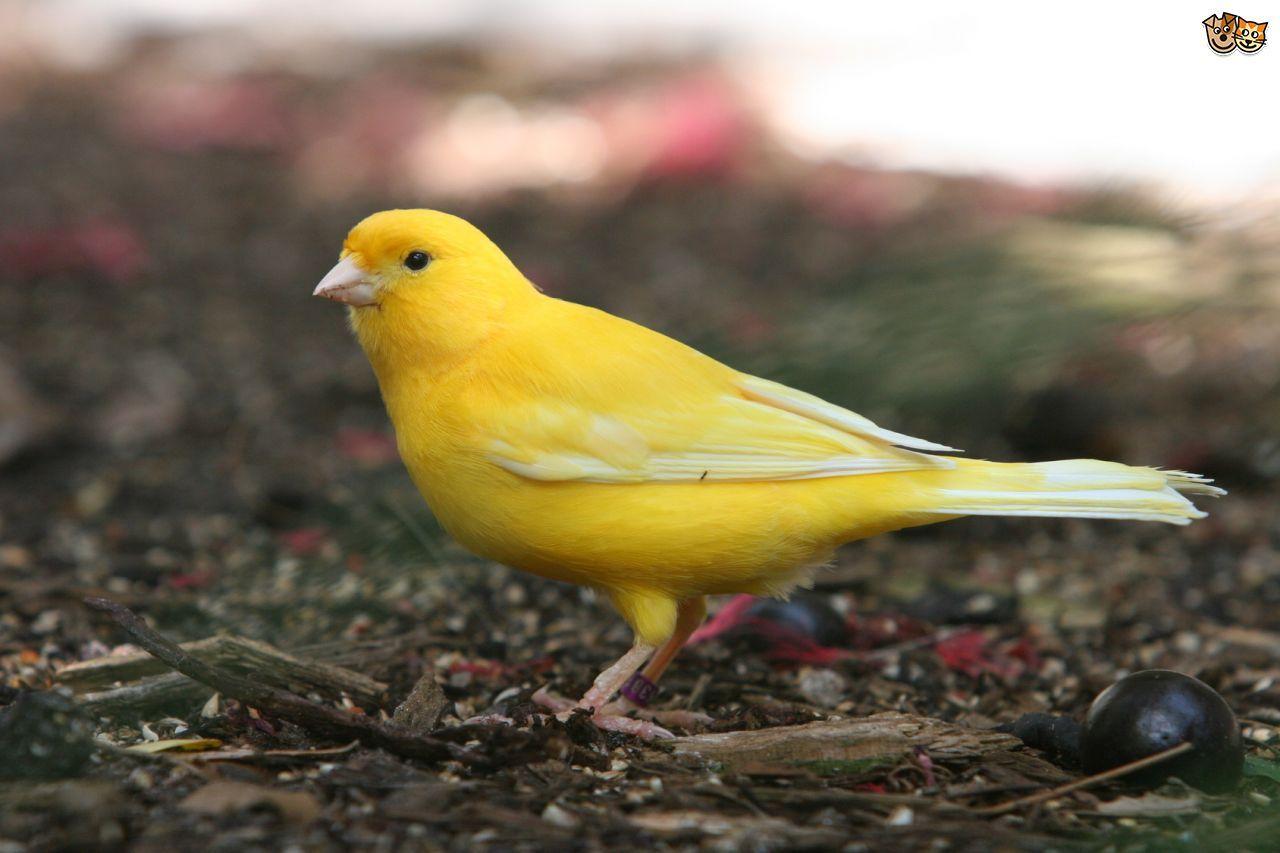 Canary Canary Birds Pet Advice Birds