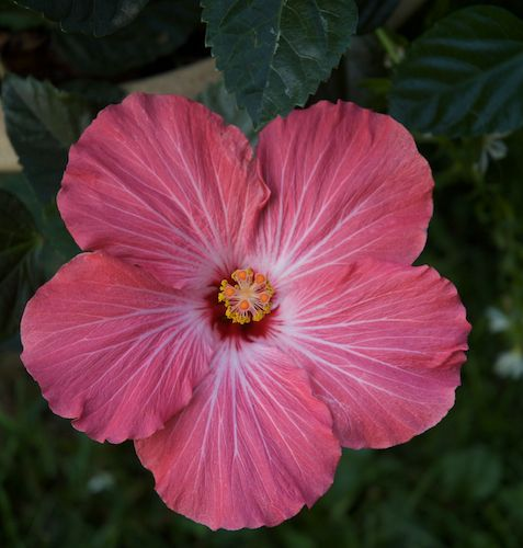 Hibiscus Care: Grow Gorgeous Hibiscus In Pots