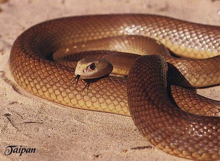 Resultado de imagen para Inland Taipan serpiente