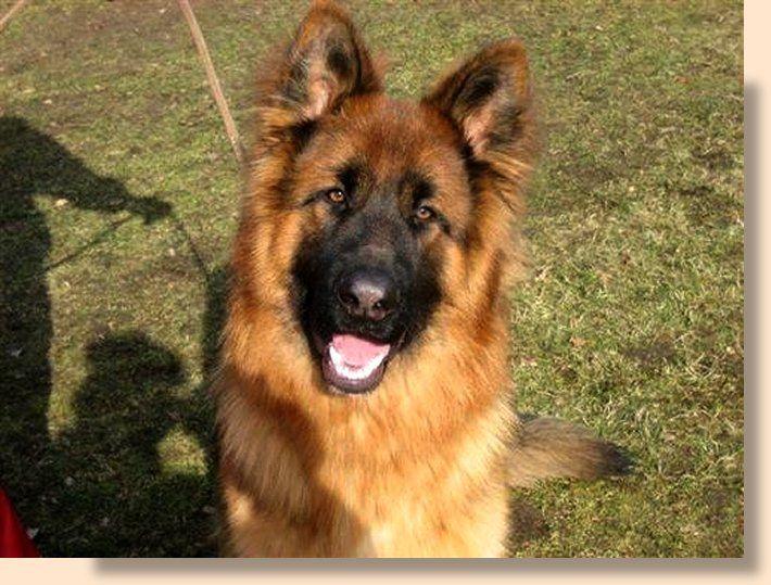 Langhaar Rusty Smart Dog Animals And Pets Dogs