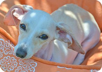 Bellflower Ca Dachshund Italian Greyhound Mix Meet Bella