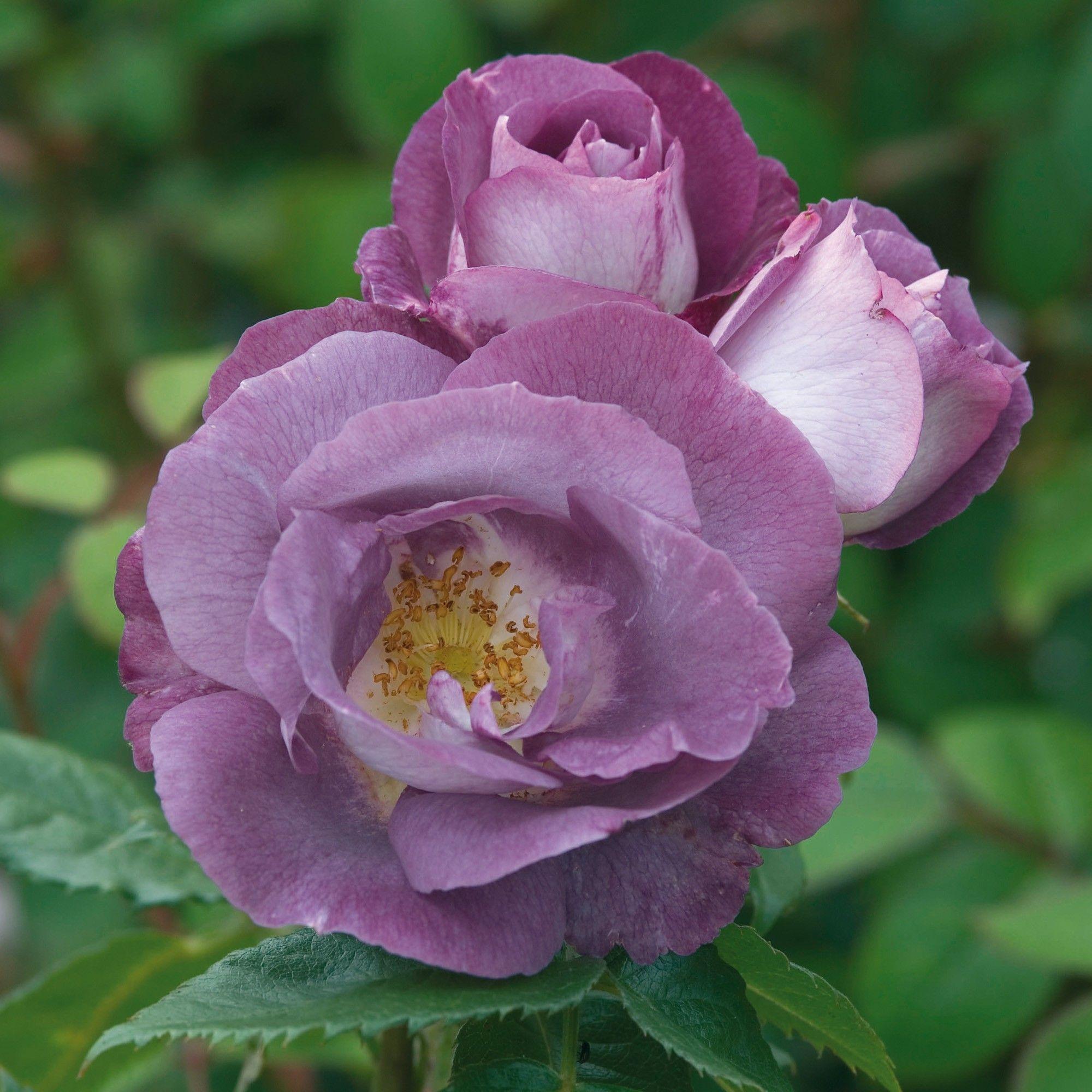 Rosa 'Blue for You'. RHS AGM. Unusual coloured floribunda