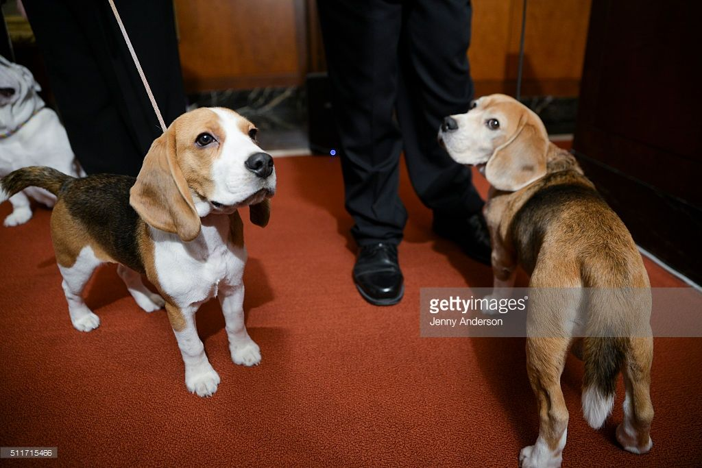 A Pair Of Beagles Attend The American Kennel Club Presents The