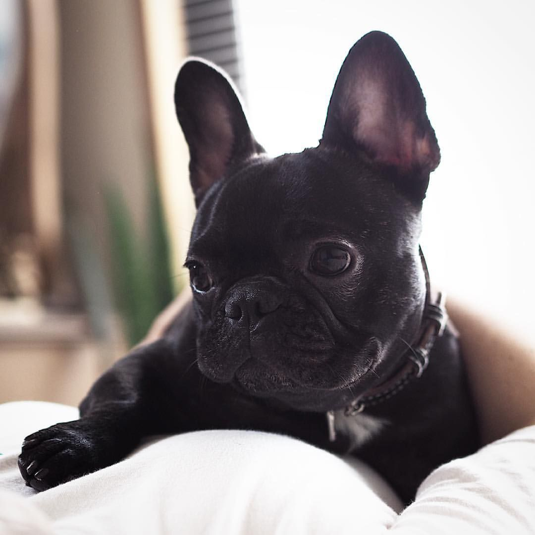 ☀️Sunday Morning☀️ French Bulldog Puppy