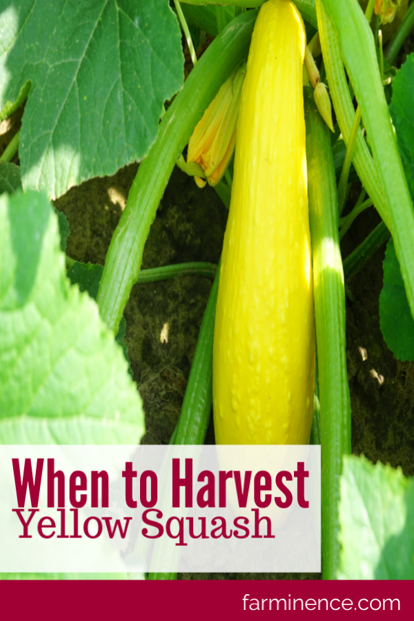 When To Harvest Yellow Squash For Tender And Tasty Squash Yellow Squash Vegetable Garden Tips Yellow Squash Recipes