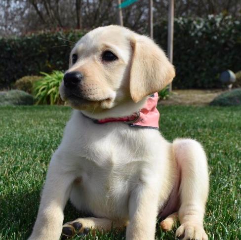 Pin By Good Dog On Labrador Retrievers Labrador Retriever Labrador Labrador Retriever Puppies
