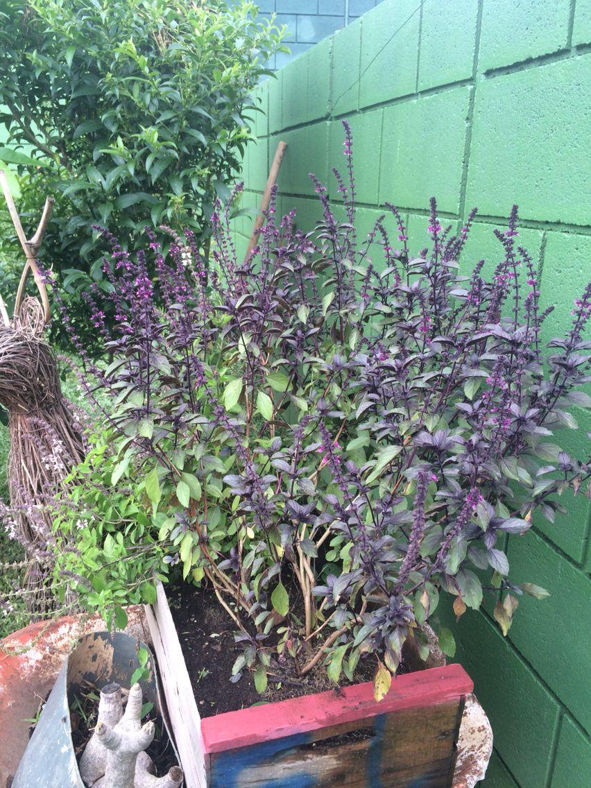 Albahaca fresca en el jardín. Huele delicioso