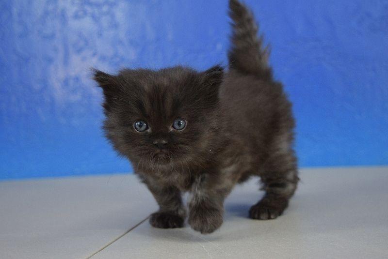 Black Solid Ragdoll Kitten | Cute kittens & Cats | Ragdoll