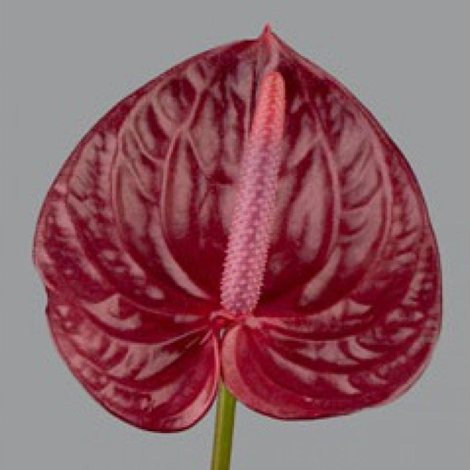 Anthurium Bordeaux Are A Red Variety As With All Tropical Flowers Anthuriums Prefer The Warm So Do Not Refrigerate A Vibrantly Coloured Flower Which Will Enh