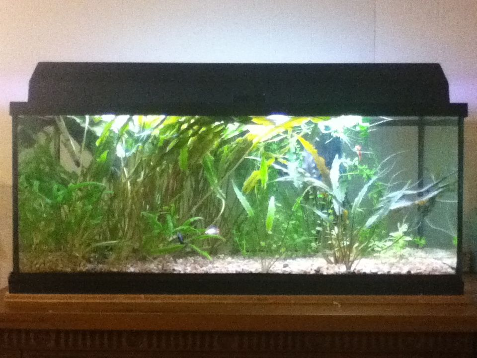 20 gallon aquarium used 20 gallon fancy guppy for How many fish in a 20 gallon tank