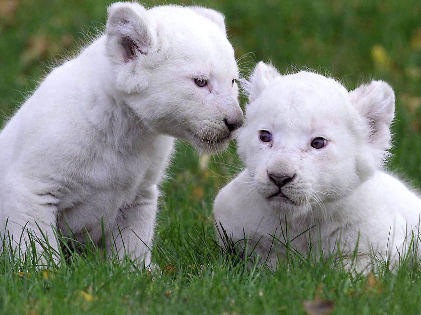 Baby White Lion Funny Wallpapers Hd Desktop And Mobile Images, Photos, Reviews
