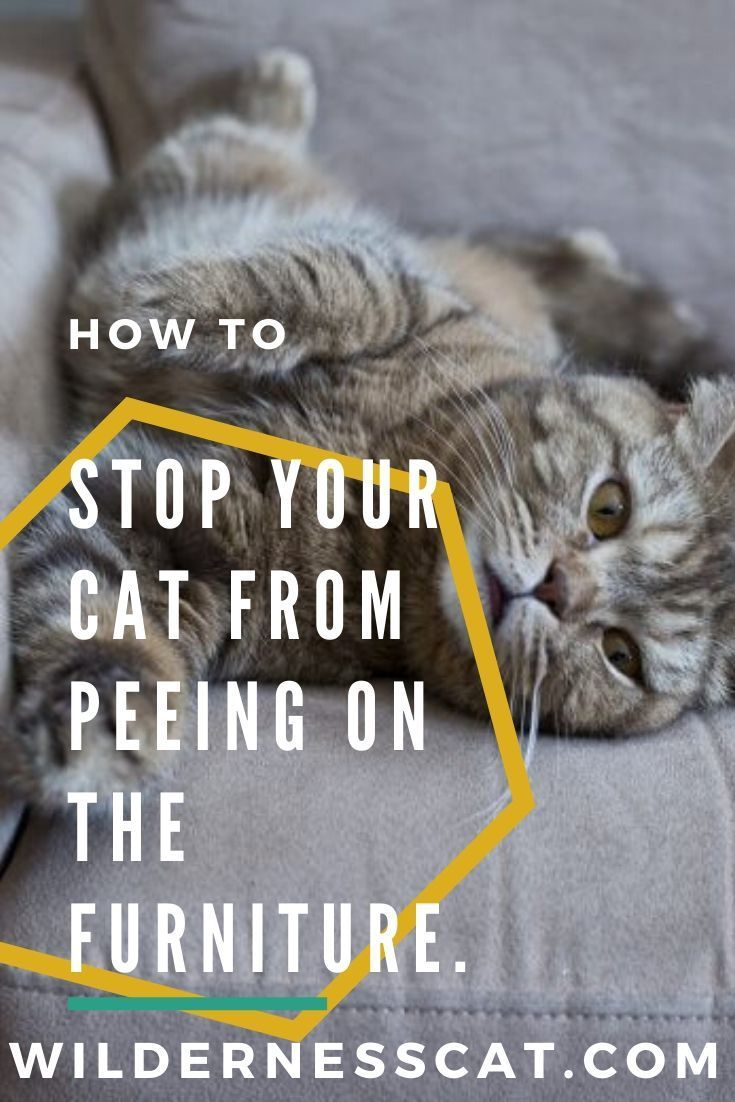 How to Stop Your Cat From Peeing on the Furniture Cats