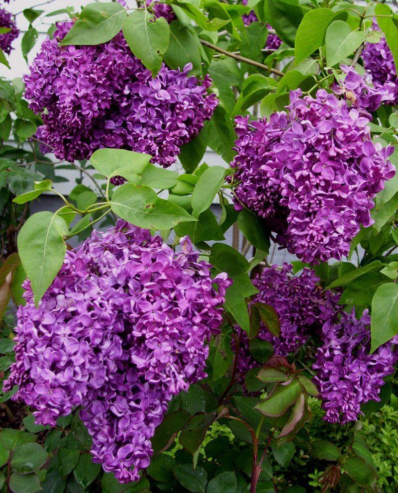 Lilac (Syringa vulgaris) any type, shades of pink, purples