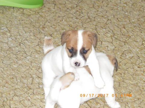 Litter Of 3 Jack Russell Terrier Puppies For Sale In Cincinnati Oh Adn 45640 On Puppyfinde Puppies For Sale Jack Russell Terrier Puppies Jack Russell Terrier