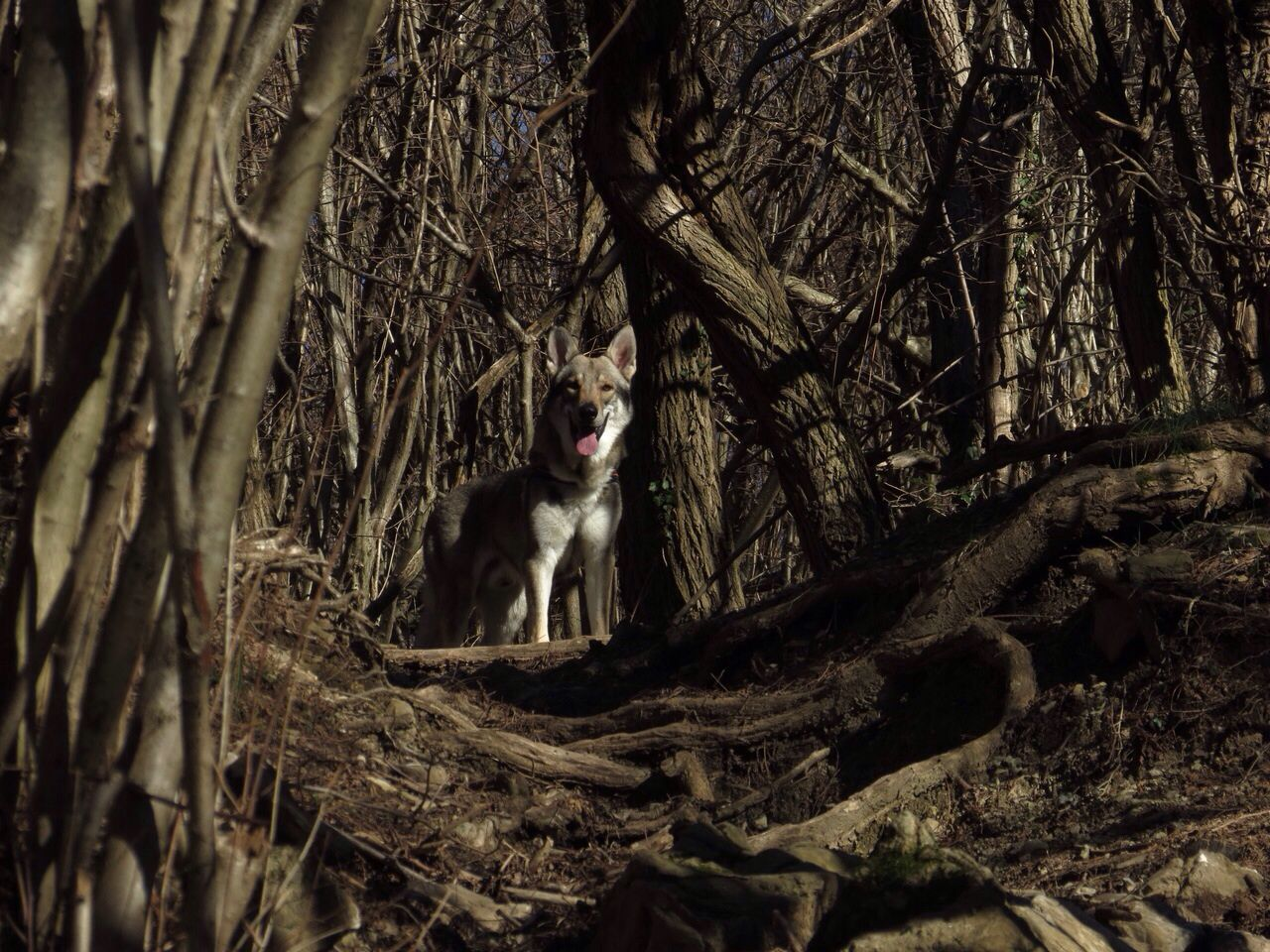 Cane lupo nel bosco