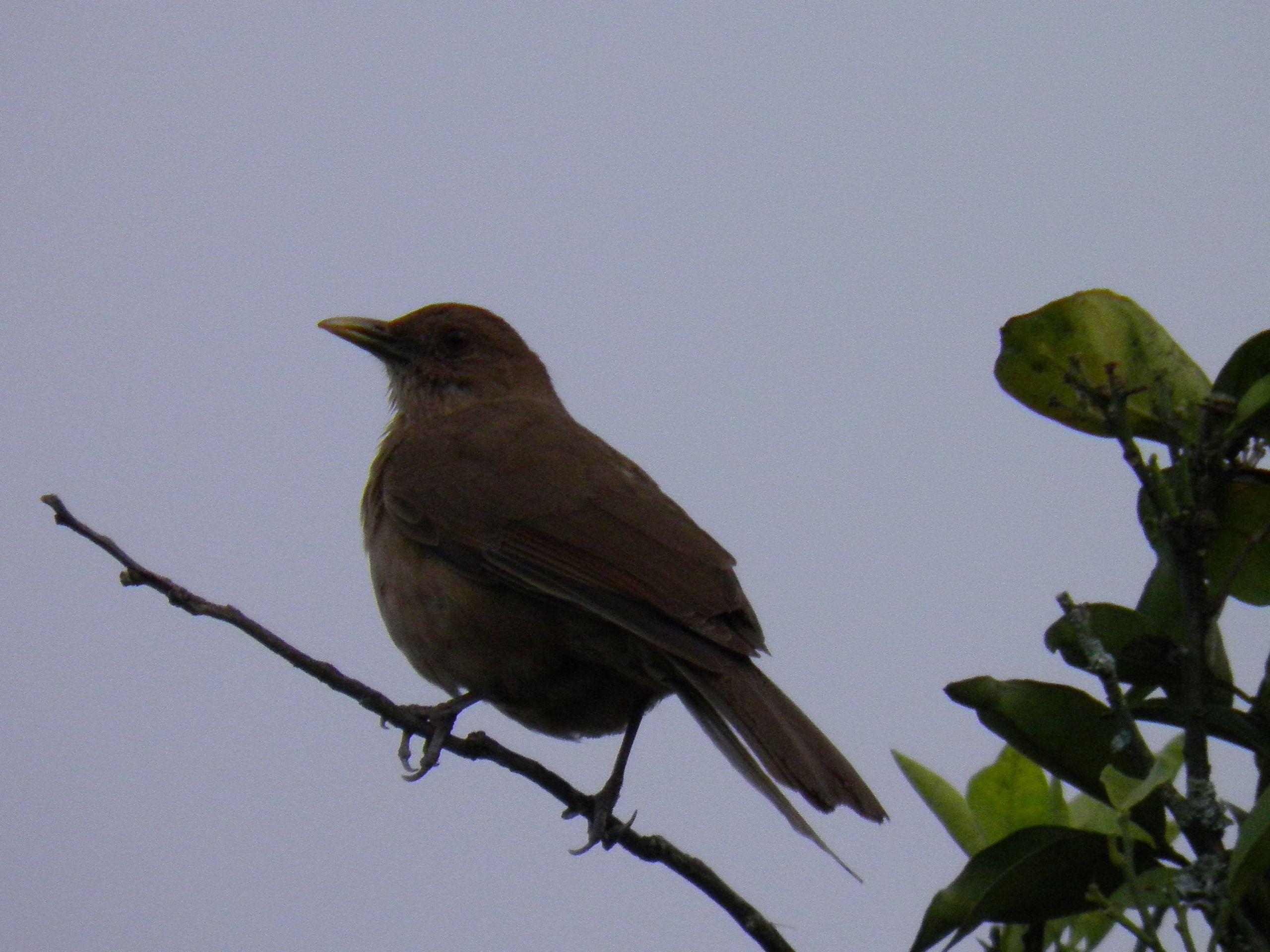 Claycolored Robin / Yigüirro. National bird of Costa Rica