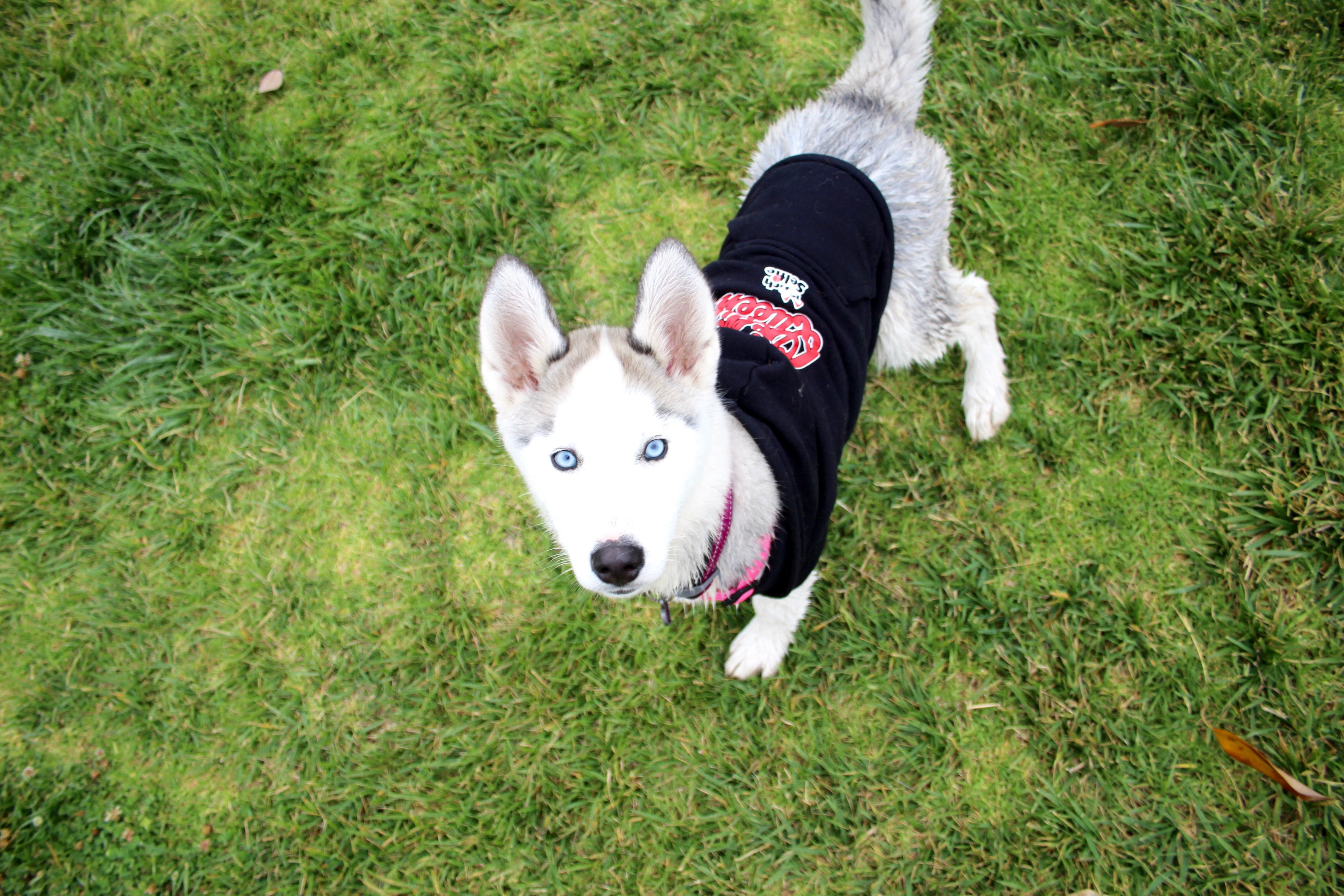 Cute husky dog in a zip up hoodie doginhoodie dogsweaters