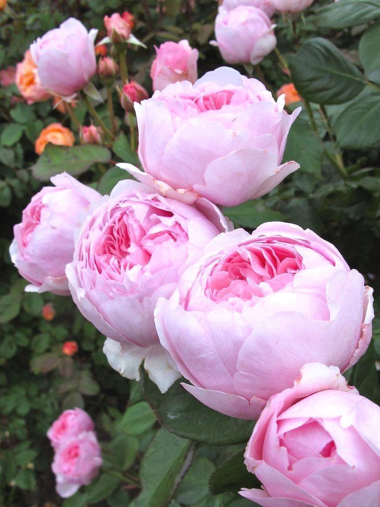 Japanese Gardening | Planter des fleurs, Fleur amour, Roses des jardins anglais