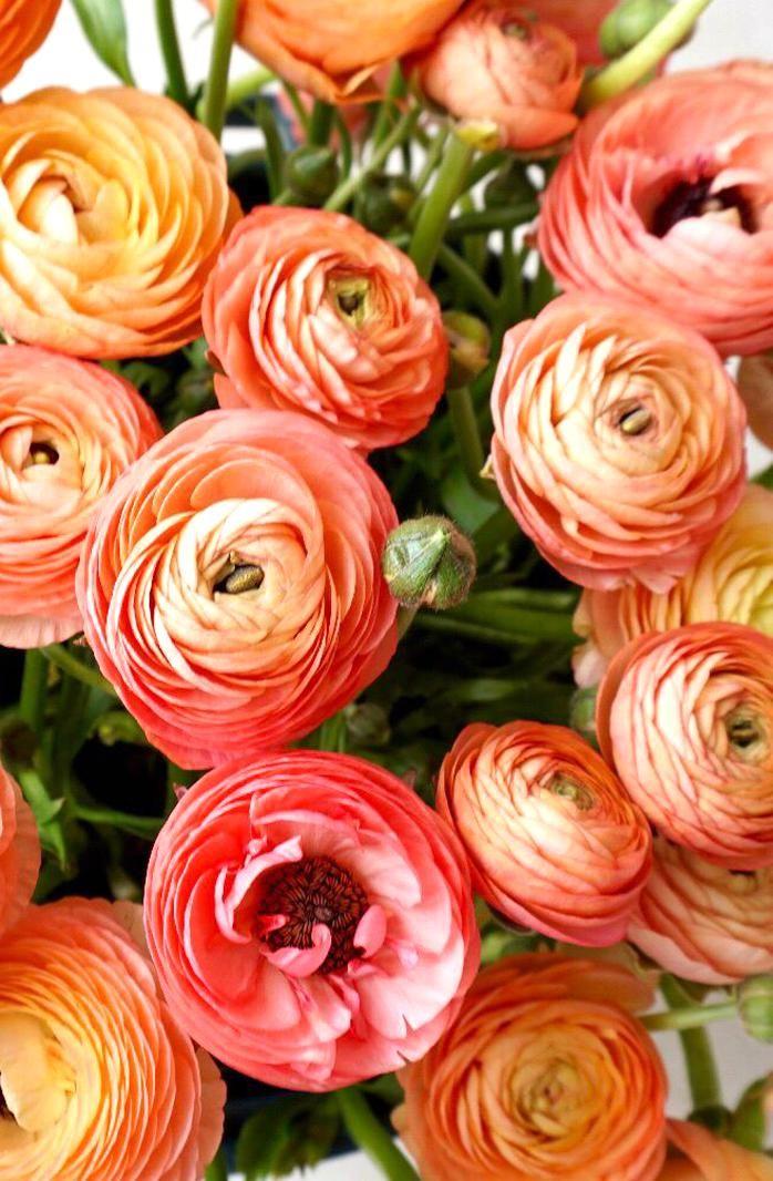 Seasonal Spring Coral Ranunculus Perfect For A Spring Wedding In 2020 Ranunculus Garden Ranunculus Flowers Ranunculus Wedding