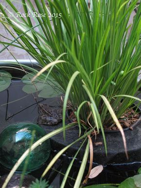 ROCK ROSE: DO YOU WANT TO MAKE A FLOATING PLANTER FOR YOUR POND?  Great instructions for making your own floaters for pond plants.  Basically use the rigid insulation, cut to shape, and covered with black landscape materiel.