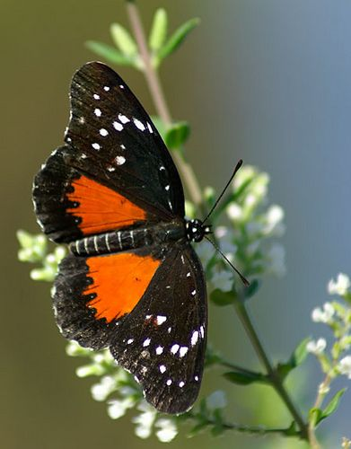 The Crimson Patch (Chlosyne janais) is larger butterfly, the upper side of the fore wing has two spots in the cell, and the underside of the hind wing has a yellow basal patch with black spots in it.
