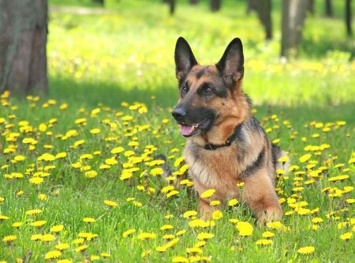 German Shepherd enjoying the peace and quiet of a meadow. Click on this image to see more beautiful dog pics