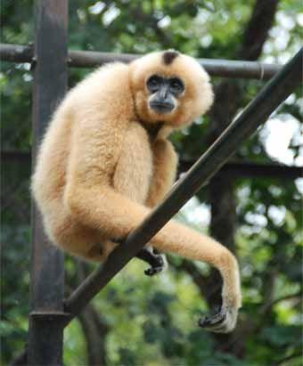 http://www.betelnuttours.com/website%20photos/animals/gibbon.jpg