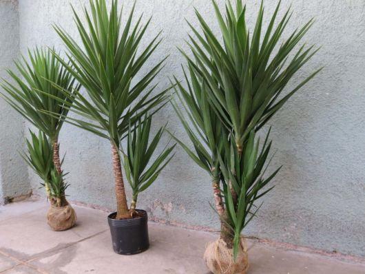Resultado de imagem para palmeiras de vaso