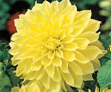 Dinner Plate Dahlia | Bloom IQ