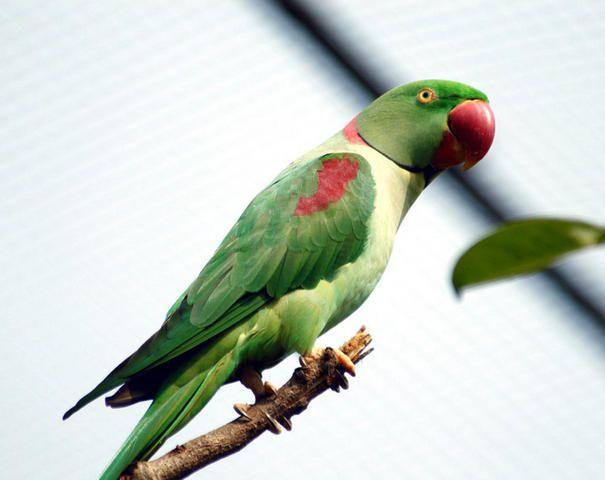 Alexandrine Parakeet or Alexandrian Parrot (Psittacula eupatria)
