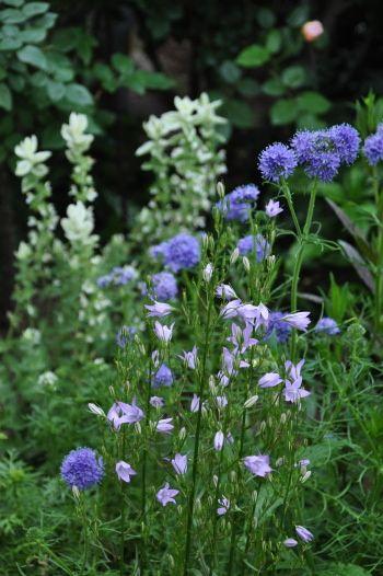 カンパニュラ 涼姫 ギリア レプタンサ ブルー イングリッシュガーデン 花畑 植物栽培