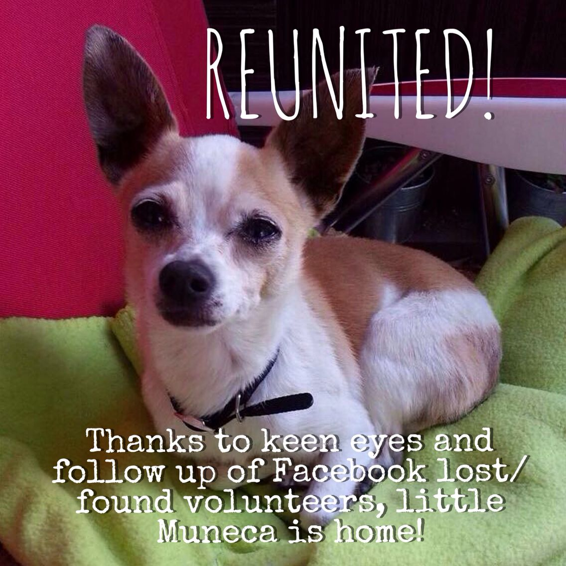 Muneca Has Been Reunited We Are Very Pleased This Pet Has Been Reunited This Pet Was Reunited After 3 Days Found On Jul 08 20 Lost Found Pets Volunteer