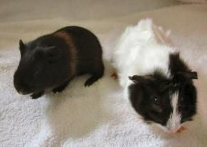 Pin On Guinea Pigs Adopted