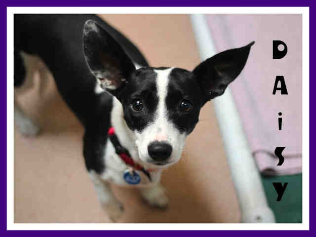 http://www.sddac.com/  My name is DAISY DUKE.  I'm a female BLACK/WHITE WELSH CORGI CAR/TERRIER. My age is 1 YEAR 1 MONTH. My weight is 15.2 lbs. I'm in the San Diego Region shelter.  My ID number is A1541365,  my necktag number is C637, and  my kennel number is C003.