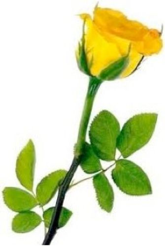 The Yellow Rose Of Texas Is A Traditional Folk Song Its Original