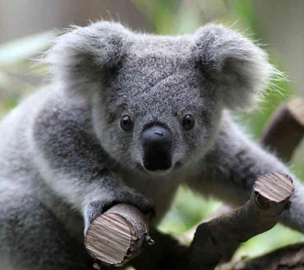 More thoughts on my Koala Bear  Bears Animal and Adorable animals